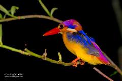 Oriental dwarf kingfisher (Ceyx erithaca) - DSC_2132 (nickybay) Tags: macro bird singapore dwarf ave kingfisher oriental upperpeircereservoir ceyx erithaca