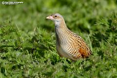 Corncrake, Crex crex (Nigel Blake, 18.5 MILLION views! Many thanks!) Tags: bird nature birds scotland corn hebrides crake crex corncrake crexcrex nigelblake nigelblakephotography
