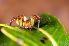 Tecedeira-melancia macho (Araniella cucurbitina)
