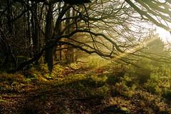 """Roekel, Winter morning (""""Daniel"""") Tags: morning light sun tree forest woods daniel beam flare veluwe portier roekel danielportier"""