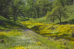 Country Roads.... (socaltoto11) Tags: california purple cows wildflowers yellows westcoast yellowflowers purpleflowers countryroads yellowwildflowers purplewildflowers canonphotography countrysettings countrylandscapes californialandscapes wildflowerlandscape fresnocountycalifornia westcoastlandscapes