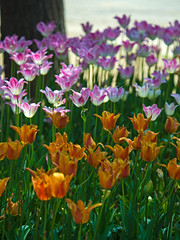 Tulips Tulips Tulips (aeschylus18917) Tags: flowers flower nature japan spring tulip   tulipa ibaraki 80400mm liliaceae hitachinaka cultivar ibarakiken     hitachinakashi hitachiseasidepark danielruyle aeschylus18917 danruyle druyle   kokueihitachikaihinken