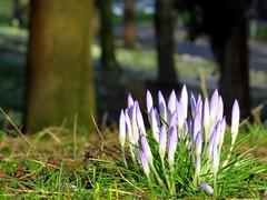 spring is in the air (gerben more) Tags: flowers trees flower nature netherlands grass utrecht nederland crocus krokus
