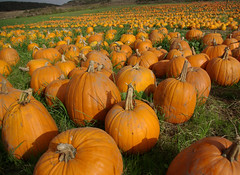pick a pumpkin. IMGP8284 (candysantacruz) Tags: autumn orange halloween field highwayone pumpkins scphoto slowcoast