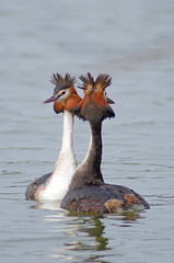 Great Crested Grebe Courtship 4 (Hugobian) Tags: city bird nature birds animal fauna garden dance weed display wildlife pair great lakes mating british presenting crested grebe welwyn courtship stanborough