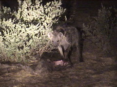Hyena Protecting Its Kill