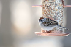 2016 Chipping Sparrow 4 (DrLensCap) Tags: park chicago bird robert nature illinois village north center il sparrow kramer chipping