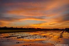 Tanjung Karang Sunset (Shamsul Hidayat Omar) Tags: reflection tourism field photography interesting nikon paddy places malaysia omar hdr selangor tanjung karang hidayat d90 greatphotographers shamsul