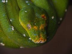 P7130401 (simonedanielis) Tags: zoom olympus epl7 animale serpente verde rettile