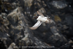 DSC_7132-2 (nigelsnell) Tags: birds razorbillalcatorda salteeisland bird flight ononesoftware photo10