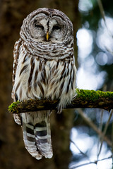 Barred Owl (crb42) Tags: wildlife owl barred
