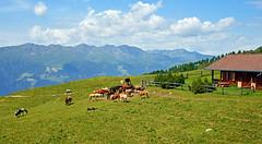 9760 Glckliche Pferde auf der Alp in Lienz (Oesterreich) (Fotomouse) Tags: fotomouse flickr tiere tier animals animal pferde alp weideland landschaft lienz oesterreich outdoor draussen alm feld grasland hgel hill grassland pferd horses