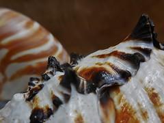 strange terrain (SM Tham) Tags: seashells murex nautilus textures rough smooth curve jagged peaks macro indoors