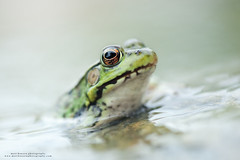 Northern Green Frog (www.matthansenphotography.com) Tags: northerngreenfrog greenfrog lithobatesclamitans wildlife animal macro amphibian water eye matthansenphotography nature outdoors