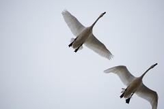DSC_1331 (KevinYMa) Tags: bird nature tundraswan