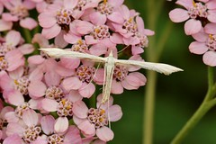 micro moth....................in explore, thank you (Suzie Noble) Tags: moth garden insect flower achillea strathglass struy