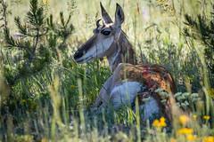 Pronghorn in the Tetons (grimeshome) Tags: pronghorn antelope tetons tetonnationalpark grandtetonnationalpark wilderness wildlife wildanimal horns nature