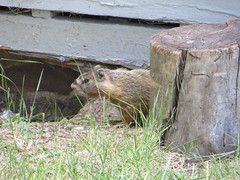 Woodchuck peeking out from behind stump (Joel Abroad) Tags: woodchuck marmot groundhog rockchuck ftbridger wyoming