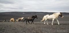 Icelandic Horses (Rolandito.) Tags: island iceland horse horses highlands pferde