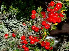 I'm LICHEN.......Native Currants (elliott.lani) Tags: red colour beautiful berry berries bright lichen colourful lani allrightsreserved currants naturephotography coprosma nativecurrant coprosmanitida whitebranchedlichen elliottlani lanielliott