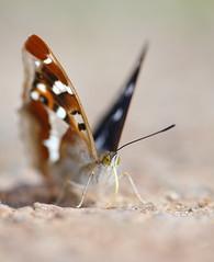 Purple emperor (Mike Mckenzie8) Tags: apatura iris british uk insect butterfly wild wildlife wing minerals feeding proboscis
