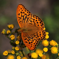 """Argynnis paphia""- keizersmantel ( male ) (bugman11) Tags: keizersmantel butterfly butterflies bug bugs insect insects animal animals fauna canon macro flora flower flowers yellow nature 100mm28lmacro nederland thenetherlands orange argynnispaphia 1001nights 1001nightsmagiccity infinitexposure thegalaxy platinumheartaward"