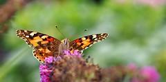 Ready for take off (G_E_R_D) Tags: butterfly schmetterling papillon distelfalter readyfortakeoff vanessacardui paintedlady distelvlinder flieder lilac