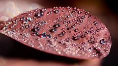 comme un got de chocolat (christophe.laigle) Tags: macro drops fuji chocolate pluie chocolat feuille gouttes xpro2