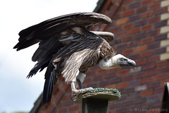 White-Backed Vulture (Bri_J) Tags: northanston sheffield southyorkshire uk tropicalbutterflyhouse yorkshire nikon d7200 whitebackedvulture vulture bird gypsafricanus
