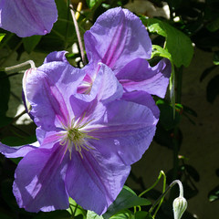Clematis, Cartway garden (Dave_A_2007) Tags: clematis cultivated flower nature plant bridgnorth england