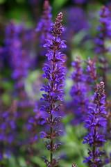 2016.07.014 Abbotsbury (15) (Kotatsu Neko 808) Tags: uk england gardens dorset subtropical abbotsbury abbotsburysubtropicalgardens