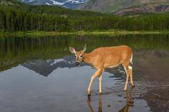 Deer at Fishercap Lake, Many Glacier, Glacier National Park, Montana (diana_robinson) Tags: deer whitetail fishercaplake manyglacier glaciernationalpark montana