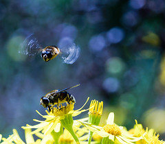 Im Anflug (Danyel B. Photography) Tags: macro nature insect close wasp bokeh sony natur sigma nah makro insekt hoverfly a57 schwebwespe
