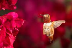 A Red Day (Patricia Ware) Tags: allenshummingbird backyard birdsinflight bougainvillea california canon ef500mmf4lisusm manhattanbeach multipleflash selasphorussasin tripod httppwarezenfoliocom 2016patriciawareallrightsreserved specanimal