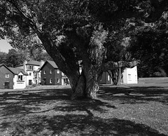 Courtmacsherry Tree (nikolaijan) Tags: mamiya rb67 ilford delta100 120 bw courtmacsherry cork ireland tree shadowplay oldandmighty