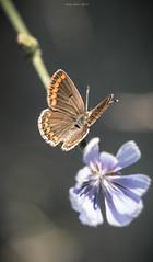 Our life is as long as a butterfly's II (oskaybatur) Tags: trkiye turkey summer turkei 2016 oskaybatur closeup dof bokeh nature flower wildflower butterfly samyang100mm macro pentaxk3 pentaxart justpentax june haziran erkezky polyommatusagestis