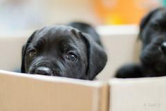 Peekaboo (A. Tadic) Tags: dog puppy pup black color animal eyes look hidden shy photo puppies canecorso dof nikon pet