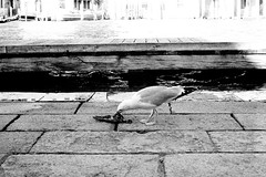 Cracked eggs, dead birds (baroque_nroll) Tags: seagull bird venice venezia italy dead carrion