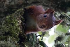 cureuil-6420 (Les Hobbys de Cawol) Tags: red nature squirrel roux cureuil