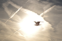 Belgian coast (Natali Antonovich) Tags: belgiancoast wenduine nature seagull parallels sky bird mysteriousness mysticalatmosphere mystery flight seasideresort seashore seaboard seaside