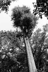 Inokashira Park, Kichijoji, Tokyo (fabiolug) Tags: tree trees trunk inokashirapark kichijoji park tokyo japan japanese asia leicammonochrom mmonochrom monochrom leicamonochrom leica leicam rangefinder blackandwhite blackwhite bw monochrome biancoenero 35mmsummicronasph 35mmf2summicronasph summicronm35mmf2asph summicron35mmf2asph 35mm summicron leicasummicron leica35mm
