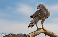 Gray Hawk (Anne Marie Fraser) Tags: outdoor animal bird gray hawk arizona desert
