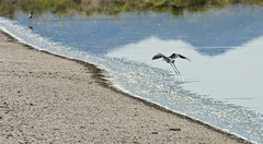 (Himantopus mexicanus); Wilcox, AZ, Twin Lakes [Lou Feltz] (deserttoad) Tags: nature arizona water refuge bird wildbird wader stilt flight behavior