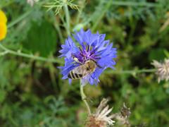 ckuchem-3101 (christine_kuchem) Tags: ackerrand bienenfreund bienenweide blumen blhstreifen feld felder klee landwirtschaft kornblume biene schmetterlingsbltler vogelschutz wiesenblume