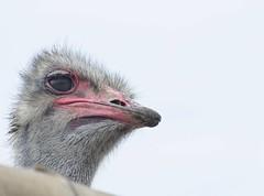 Mirada Perdida (Escrunts) Tags: avestruz