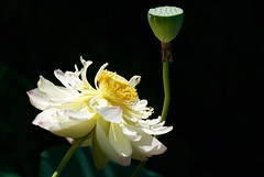 Stages of Lotus (janice.sullivan12) Tags: lotus lotusflower flower petals seedpod stamen yellow green blackground nature rhodeisland ri hamiltonmill