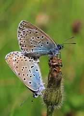 Large Blues mating - Daneway WT reserve Gloucs - 270616 (37) (ailognom2005-Catching up slowly.) Tags: maculineaarion largeblue butterflies butterfliesmothsandcaterpillars gloucestershire insects macro mating danewaywtreserve wildlifereserves reserve naturereserves naturalhistory