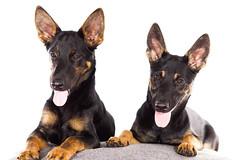 Dog Hund (AndiFotoGrafie) Tags: hund dog studio heimstudio homestudio outdoor drausen indoor drinnen lustig jungtiere tier tiere