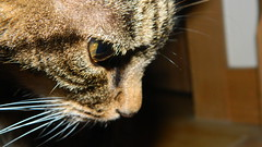 Faraway Gaze (Miriam Christine) Tags: cat face macro closeup eye cateye gaze faraway vision stare feline