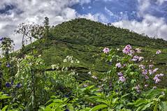 Tea And Wildflowers (gecko47) Tags: plants wildflowers blooms roadside tea camelliasinensis plantation crop munnar kerala westernghats india
